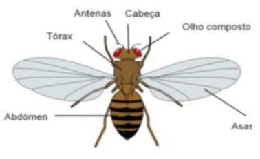 mosca-da-fruta-2