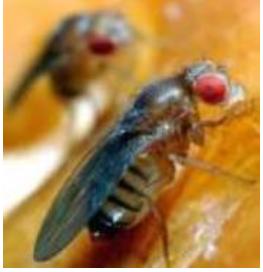 mosca-da-fruta-3
